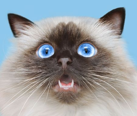 himalayan cat: Mewing of cat