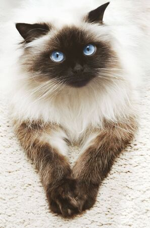 himalayan cat: Portrait of cat laying on carpet Stock Photo