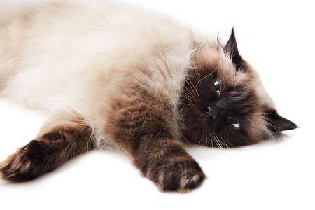 himalayan cat: Cat isolated over white background