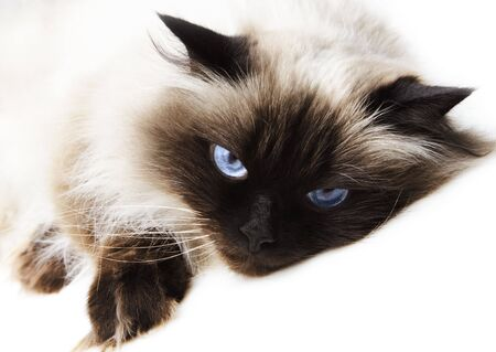 himalayan: Cat isolated over white background