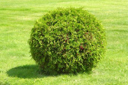 bush trimming: Green ornamental bush in the garden Stock Photo