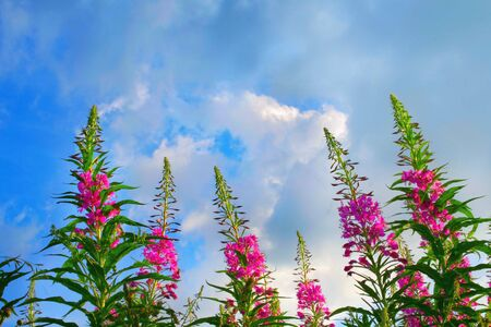 Fireweed flowers and blue sky photo