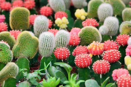 spinous: A group of colorful cacti