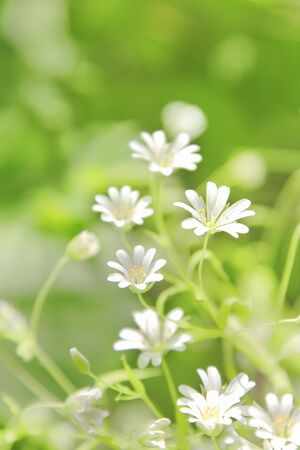 chickweed: Close-up of Chickweed flowers (Stellaria holostea)