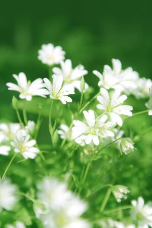 chickweed: Chickweed flowers