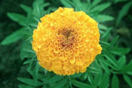 Close-up of yellow marigold flower Stock Photo - 6609831