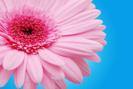 daises: Pink gerber on a blue background