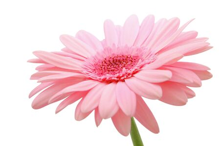 daises: Pink gerber on a white background Stock Photo