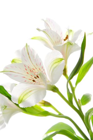 Alstroemeria flowers photo
