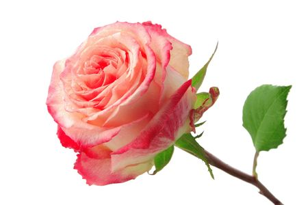 sepal: Rose isolated on white
