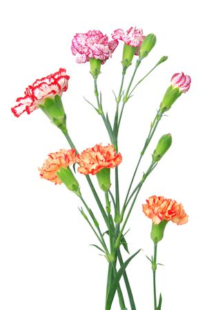 Carnation isolated over white background Stock Photo - 6609633