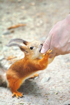 Hand feeding squirrel. photo