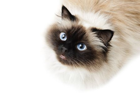 himalayan cat: Cat isolated on white background Stock Photo