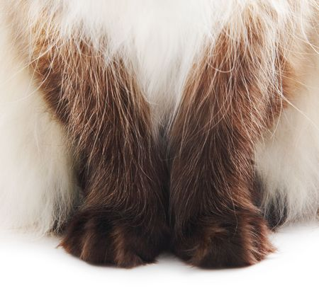 himalayan cat: Cat paws isolated on white