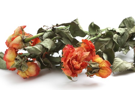Withered roses isolated over white background photo