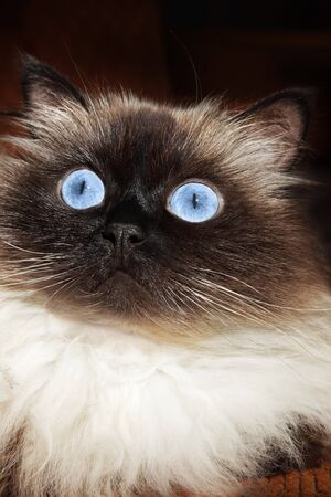 himalayan cat: Portrait of a brown cat Stock Photo
