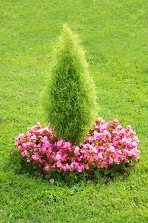 Topiary bush with begonia flowers photo