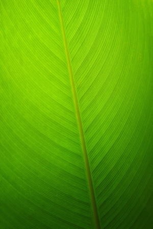 tree line: Banana leaf