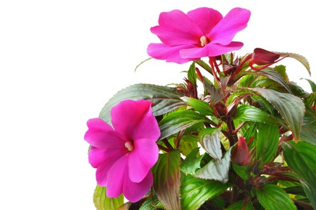 Impatiens flowers isolated on white photo