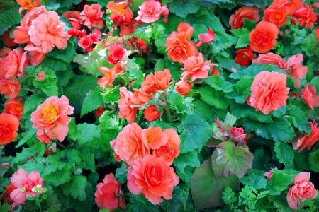 Close-up of begonia flowers photo