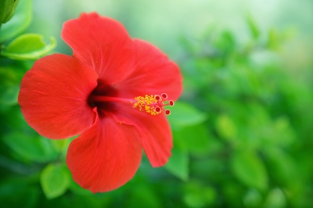 big flower: Red hibiscus