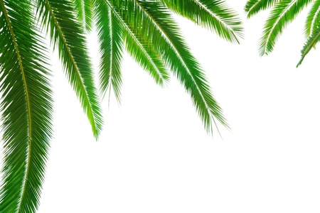 droop: Palm leaf on white background Stock Photo