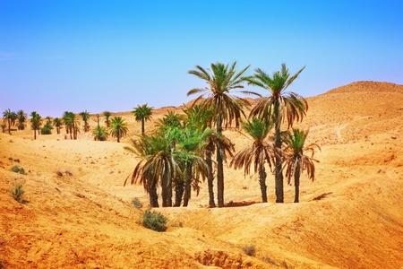 oasis: Palm trees in Sahara desert Stock Photo