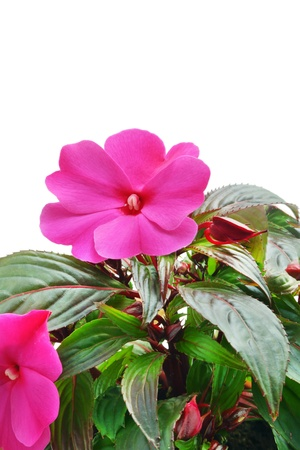 impatiens: Impatiens flower on white background Stock Photo