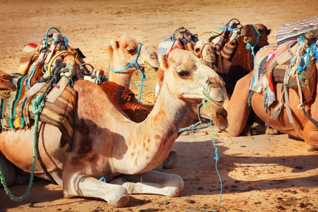 east riding: Camels in the Sahara desert