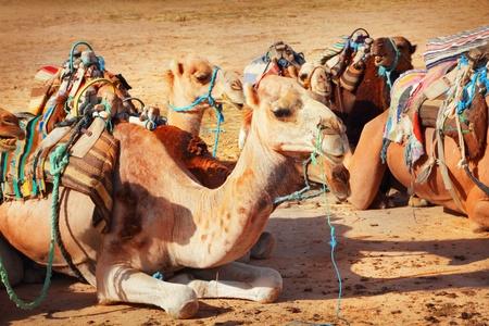 saddle camel: Camels in the Sahara desert