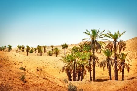 desierto: Palmeras en el desierto del Sahara