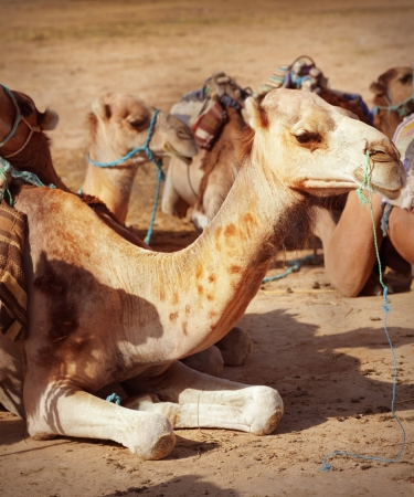 Camels in the Sahara desert photo