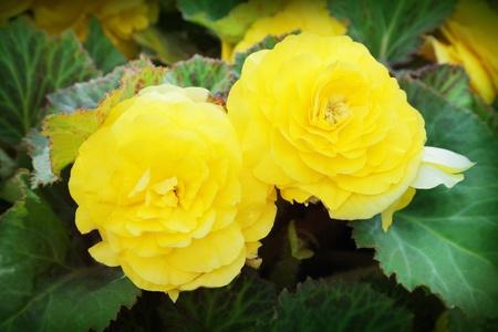 begonia: Close-up of begonia flowers