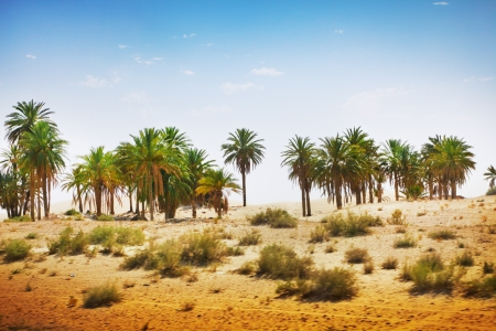 Palm trees in Sahara desert photo