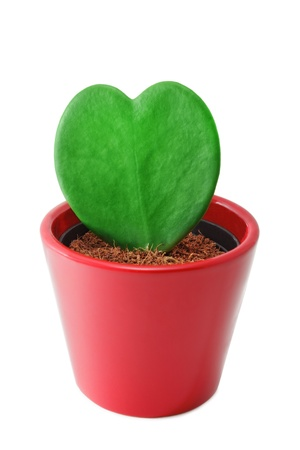 Heart shaped cactus at pot on white background photo