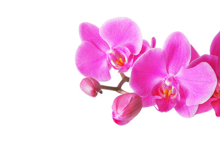ornamental horticulture: Pink orchid