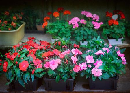 balsam: Flowers Stock Photo