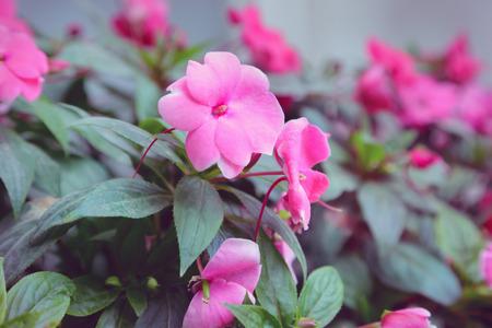impatiens: Impatiens flowers in the garden