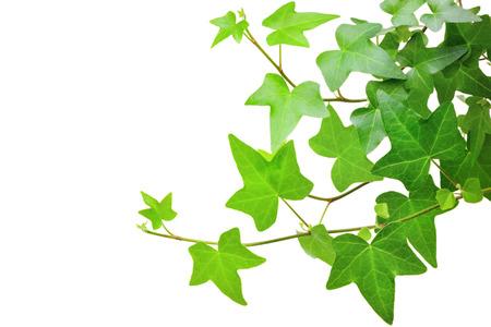 Ivy plant Standard-Bild