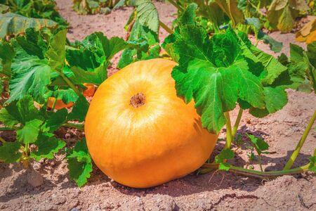 Pumpkin growing in field photo