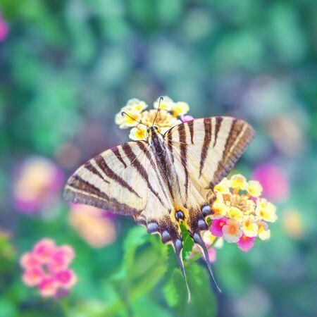 scarce: Scarce swallowtail Iphiclides podalirius Stock Photo