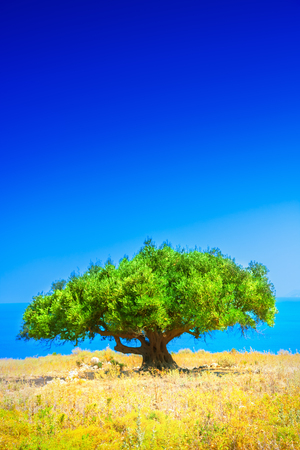 panoramic sky: Olive tree Stock Photo