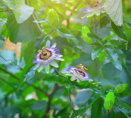 Fleur de la passion (Passiflora) Banque d'images