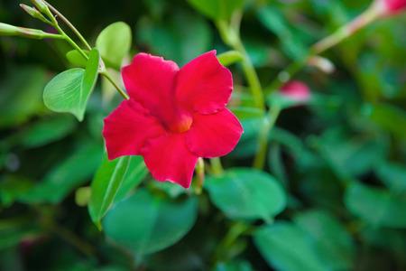 dipladenia: fiore Dipladenia
