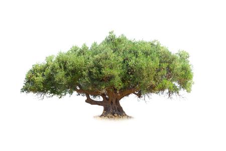 arbre: olivier isolé sur blanc
