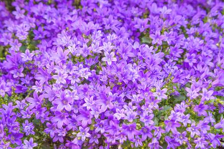 campanula: Campanula flowers