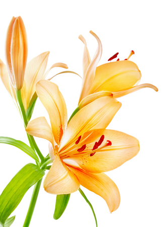 Lilies isolated over white background Imagens