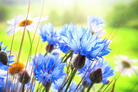 Close up of Cornflowers