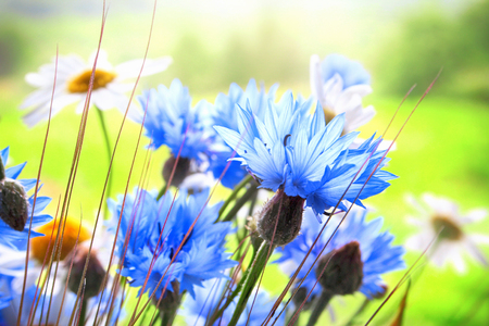 Close up of Cornflowers