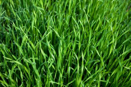 Wet green grass. Background  photo